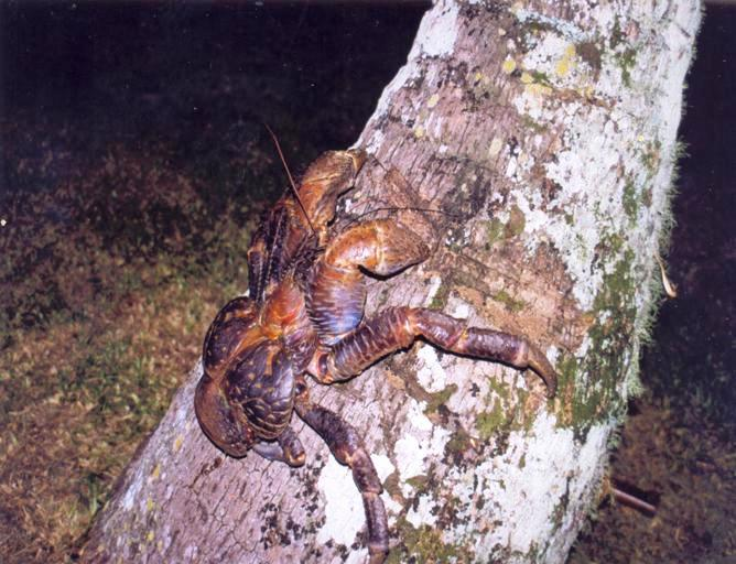 The Coconut Crab - overexploited throughout most of its range.